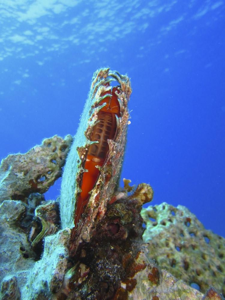 Geschlossene Perlmuschel unter Wasser
